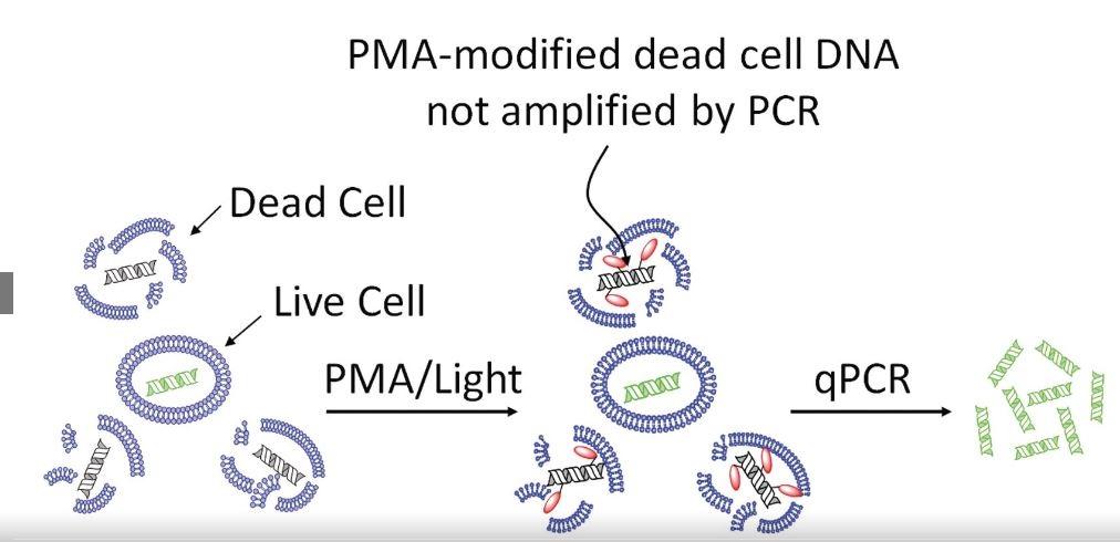 pma cell dna